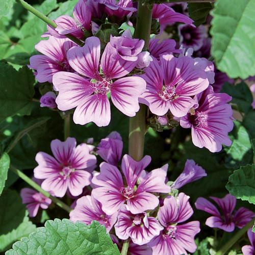 Flower, Zebrina