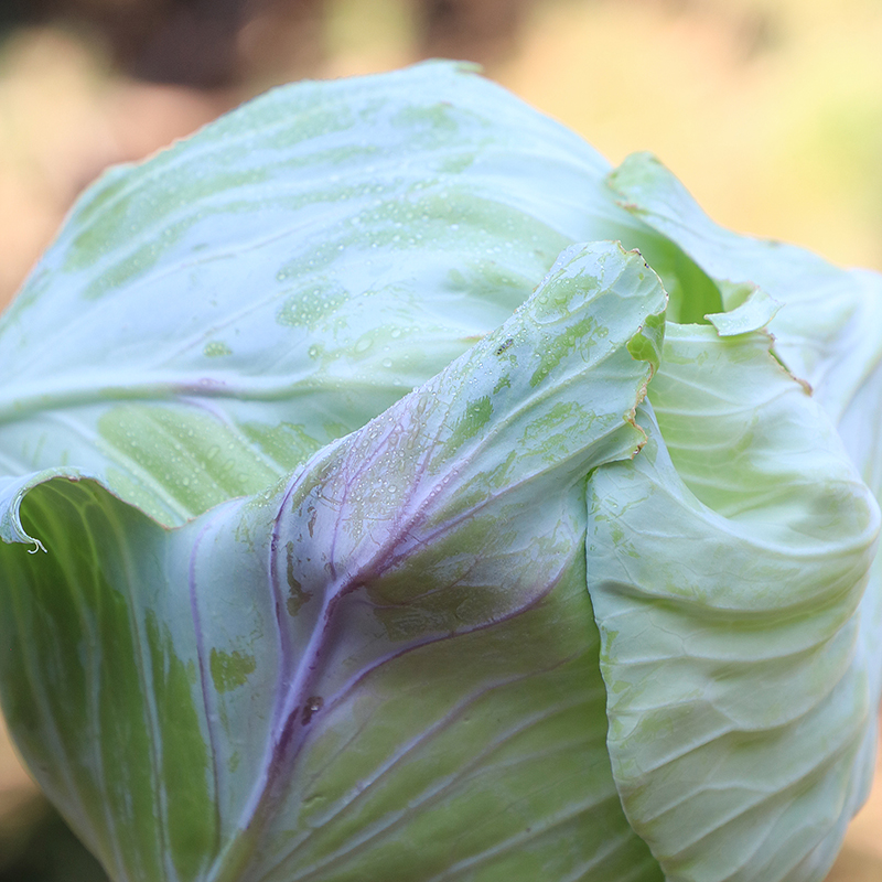 Tancook Island Cabbage