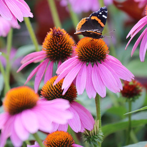 Prairie, Purple Coneflower