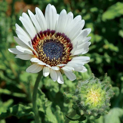 Zulu Prince Daisy Flower