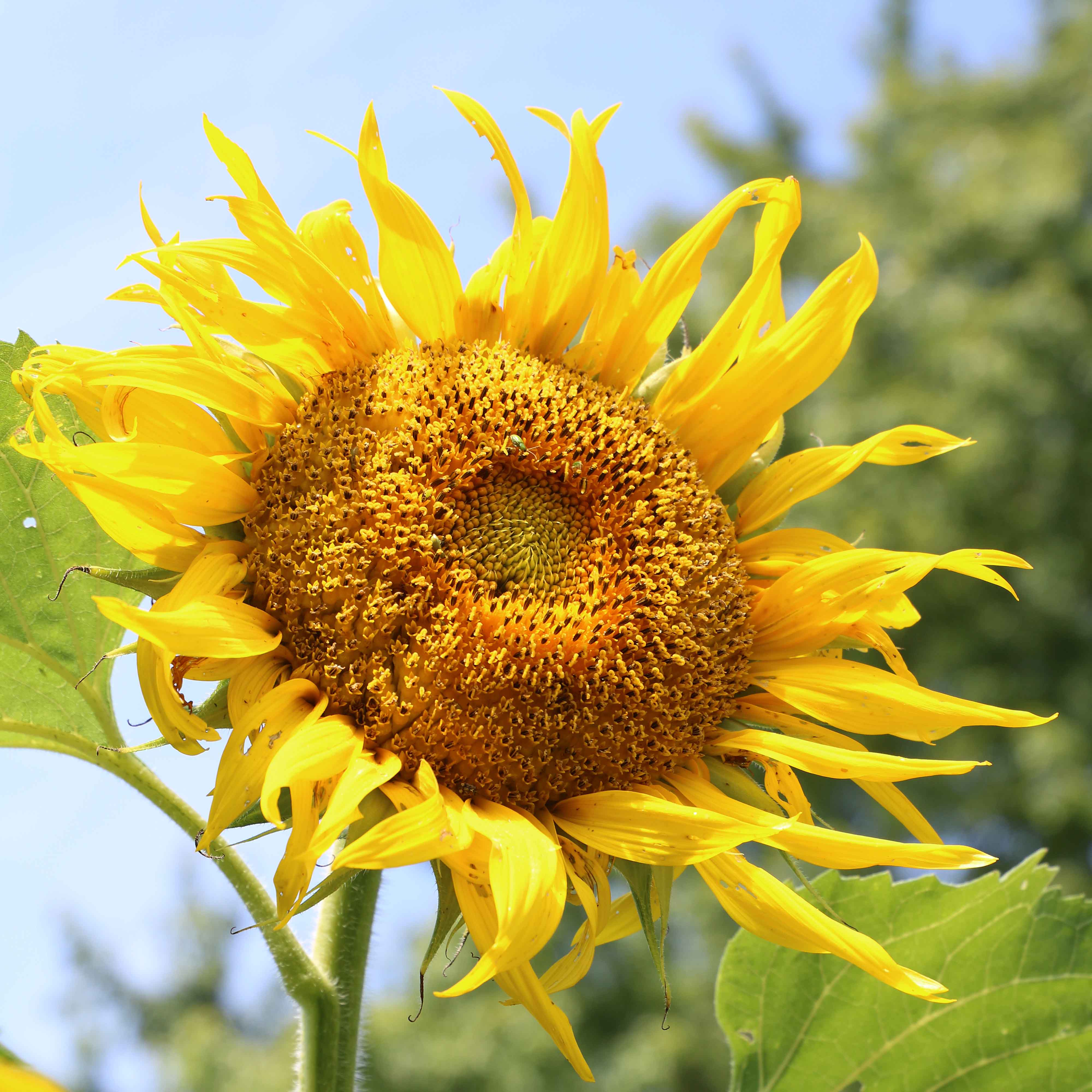 rostov organic sunflower seed savers exchange