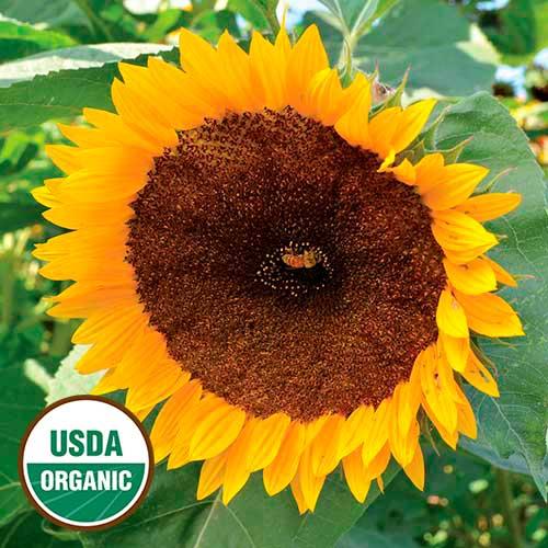 taiyo organic sunflower seed savers exchange