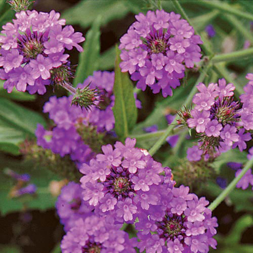 Flower, Verbena