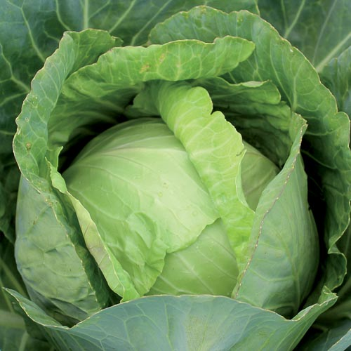 Shop Cabbage Seeds