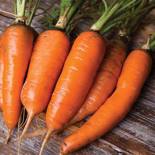 Danvers Carrot Seed Savers Exchange