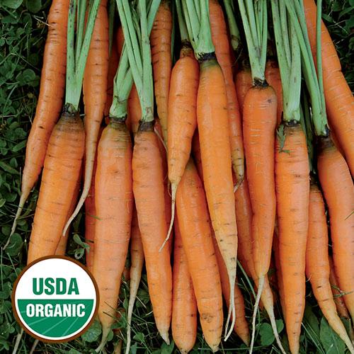 Carrot, Scarlet Nantes