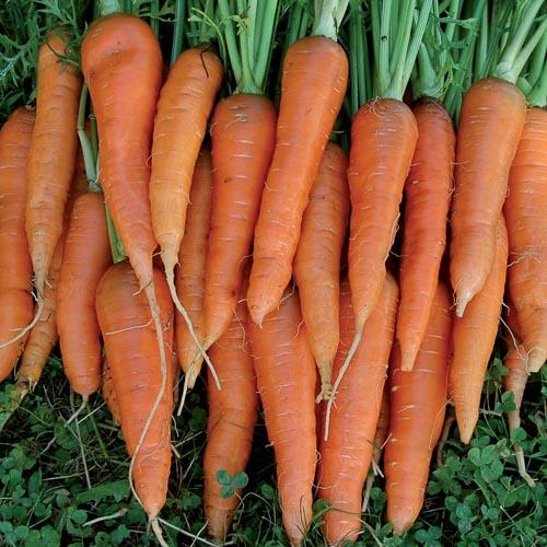 Carrot, St Valery