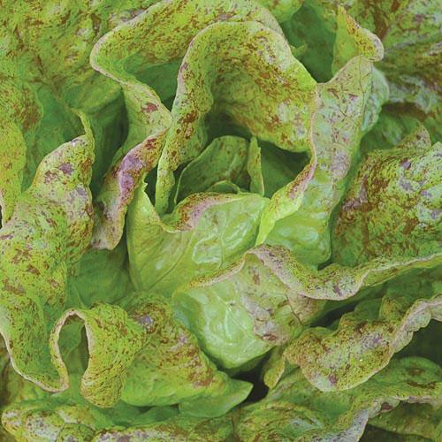 Lettuce, Sanguine Ameliore