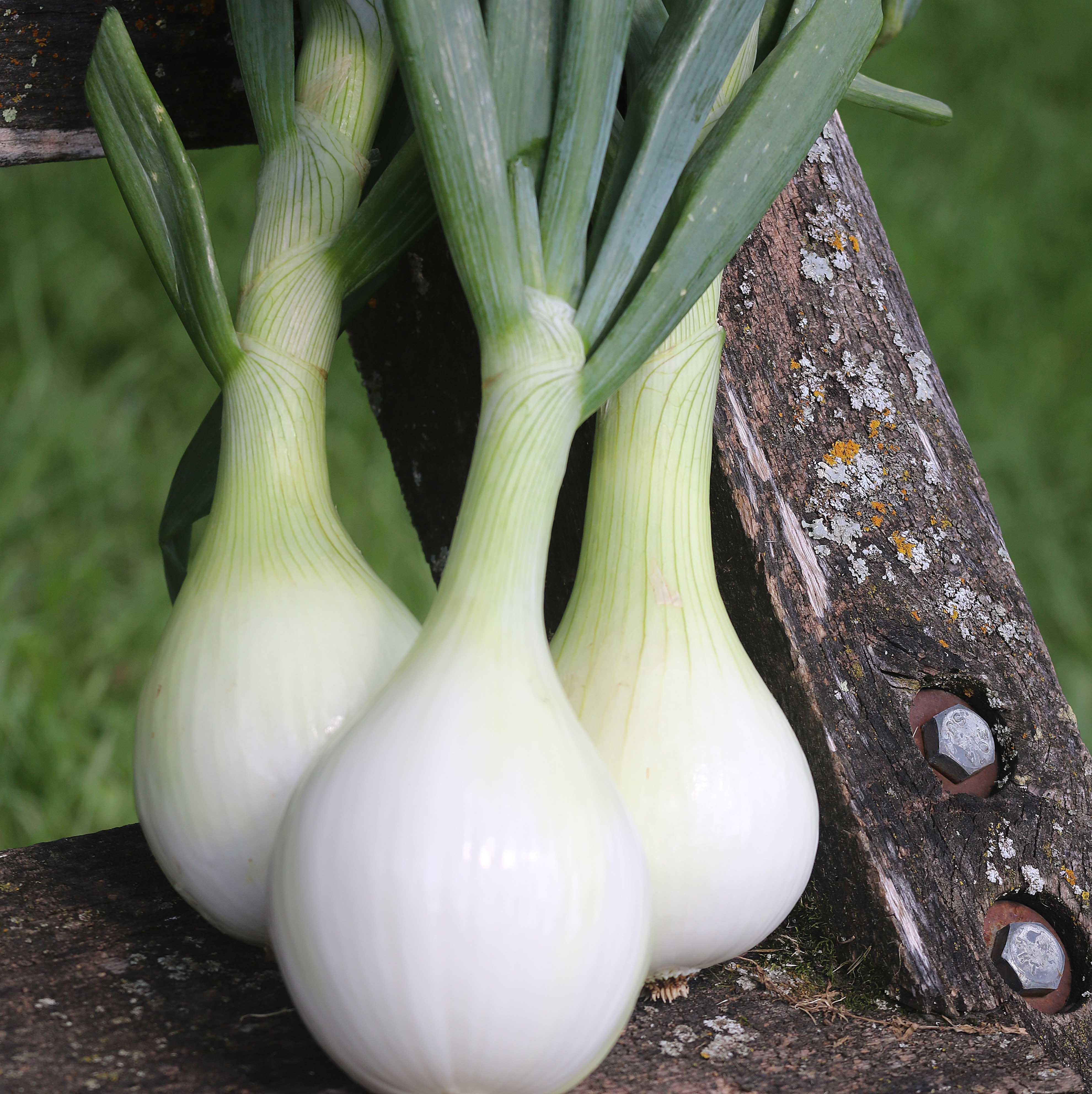 Onion, Ailsa Craig