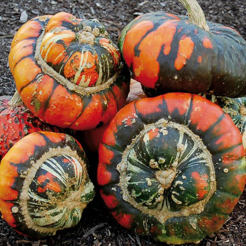 Turk's Turban Squash - Seed Savers Exchange