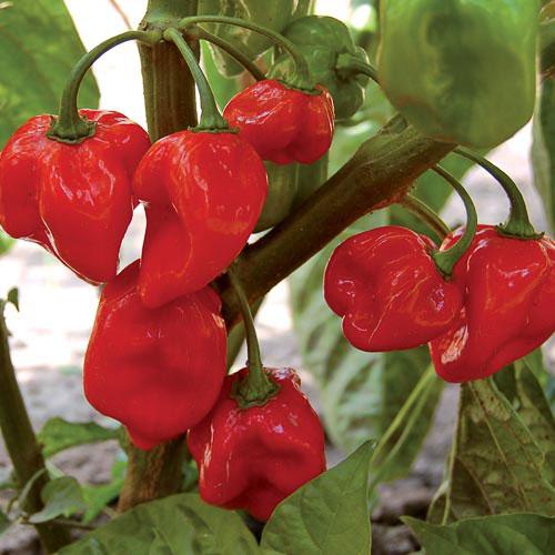 Pepper, Habanero Red