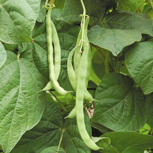Bean, Kentucky Wonder Pole