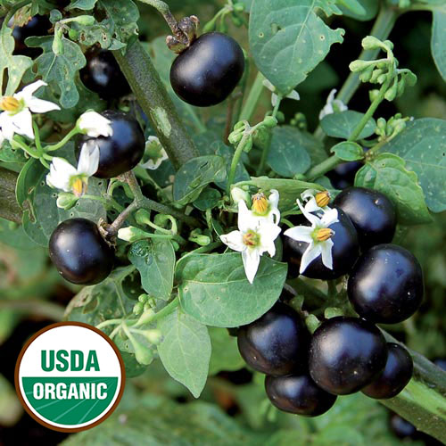 garden huckleberry organic seed savers exchange