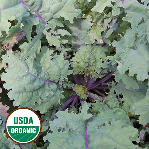 Kale, Red Russian