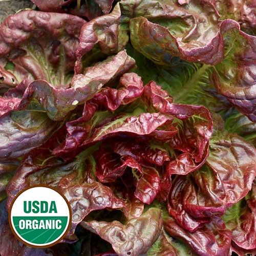 Yugoslavian Red Butterhead Lettuce