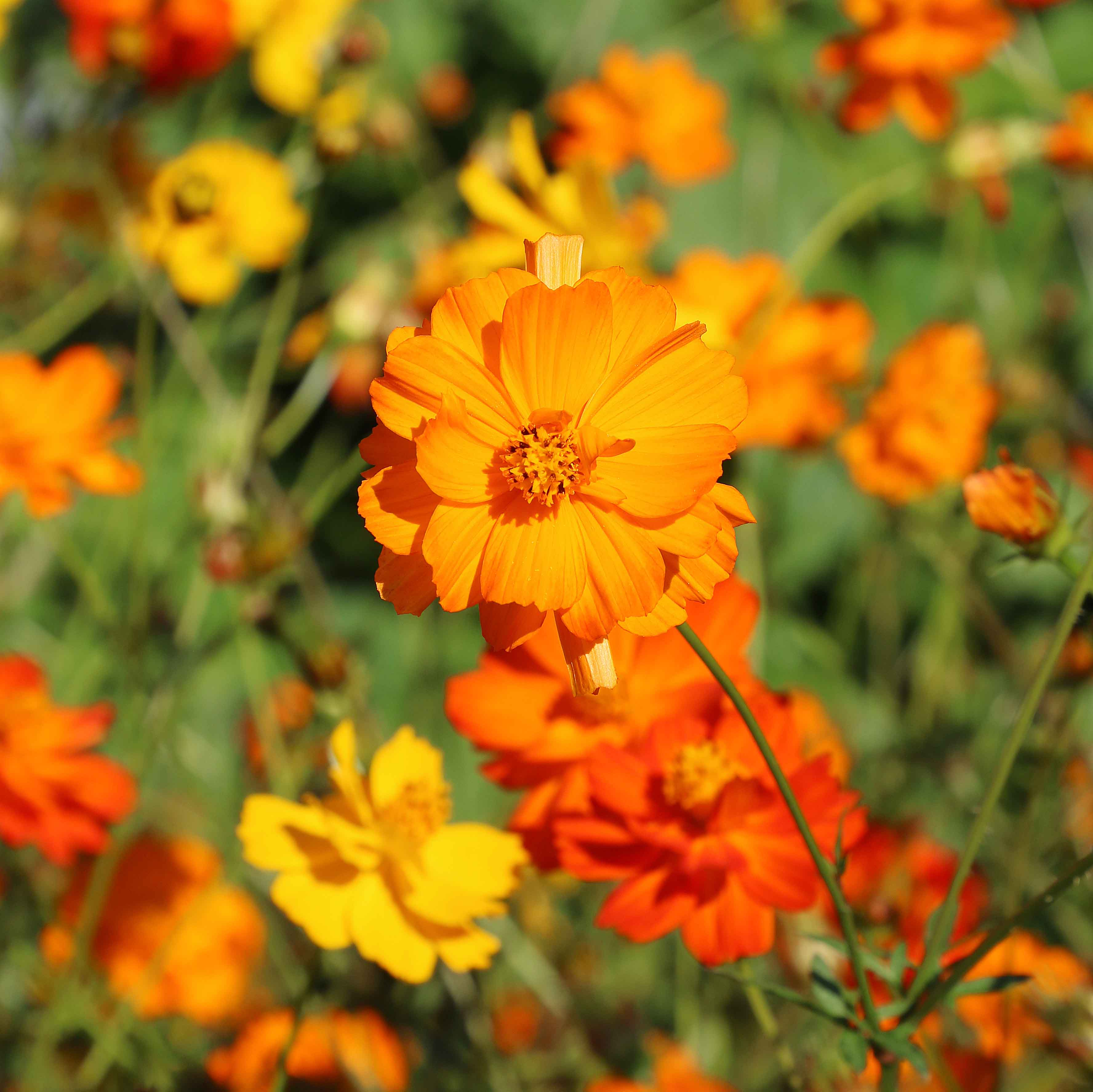 Flower, Diablo Cosmos