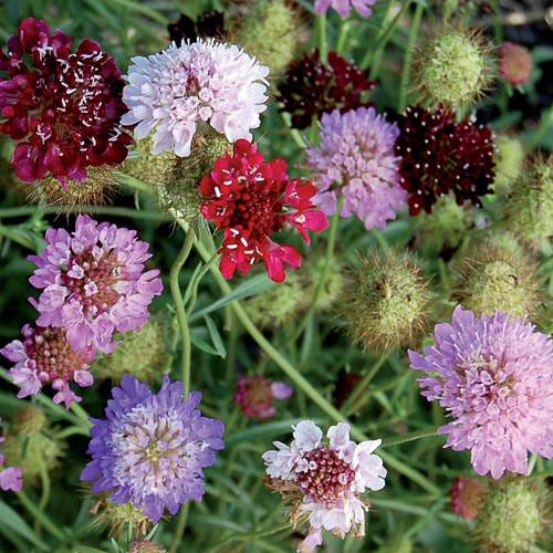 Flower seeds to buy and grow heirloom organic non gmo seed flower color mixture pincushion mightylinksfo