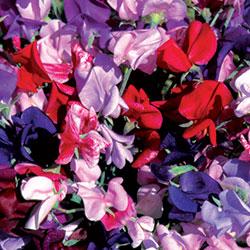 Flower, Grandiflora Sweet Pea Mix
