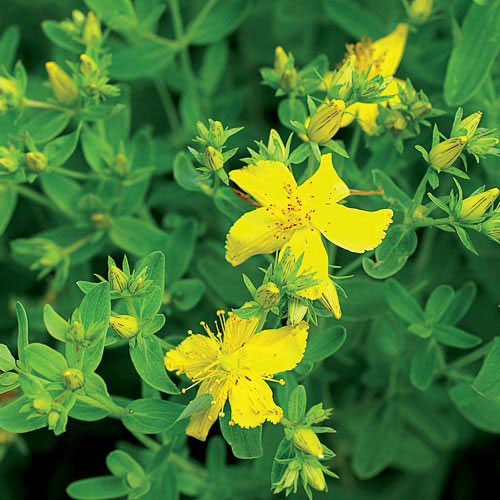 St johns wort herb seed savers exchange herb st johns wort mightylinksfo