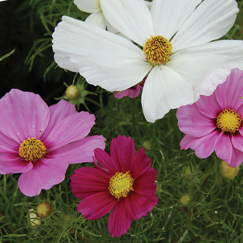 Flower, Sensation Cosmos Mixture