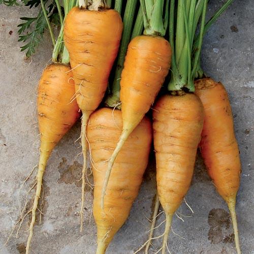Carrot, Oxheart