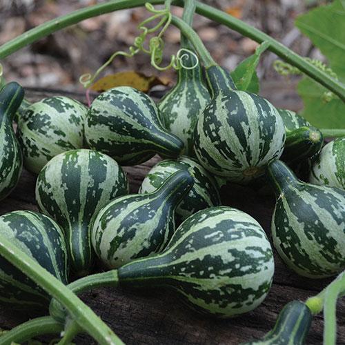 spinning gourd seed savers exchange