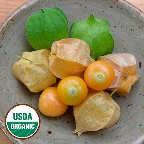 Transplant, Ground Cherry-Aunt Moll