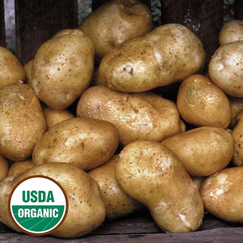 Yukon gold potatoes maturity