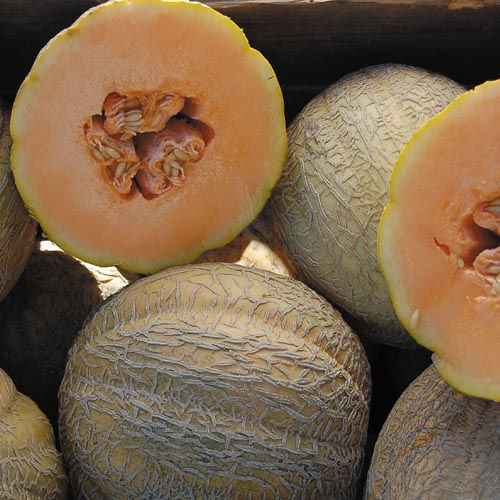 Melon, Schoon's Hard Shell