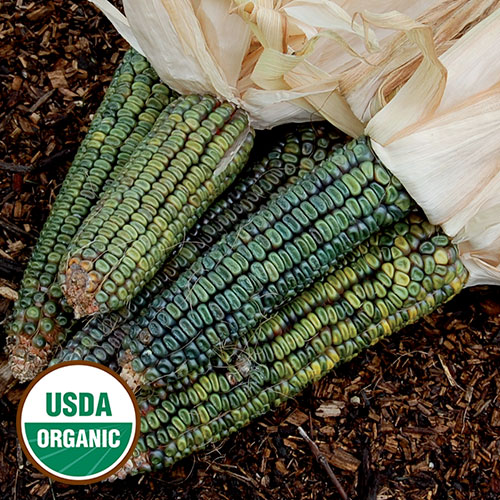 Corn, Oaxacan Green Dent