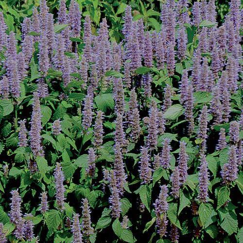 Prairie, Lavender Hyssop