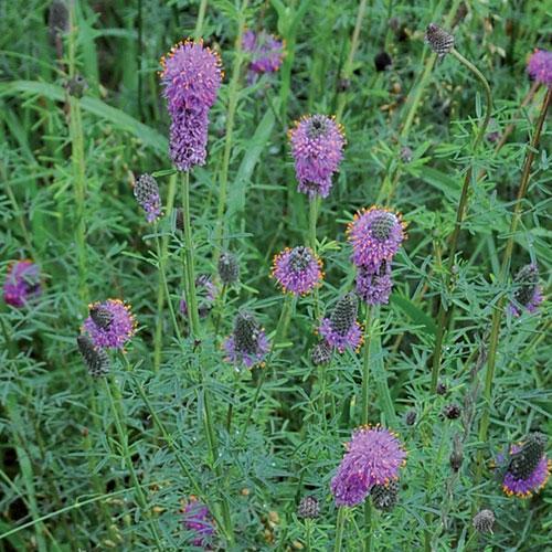 Prairie, Purple Prairie Clover