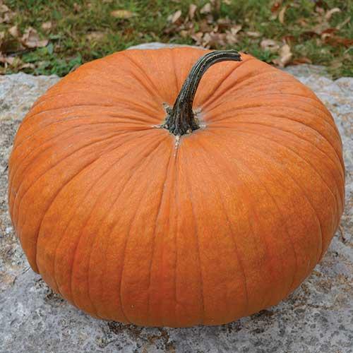 Cornfield pumpkin squash seed savers exchange