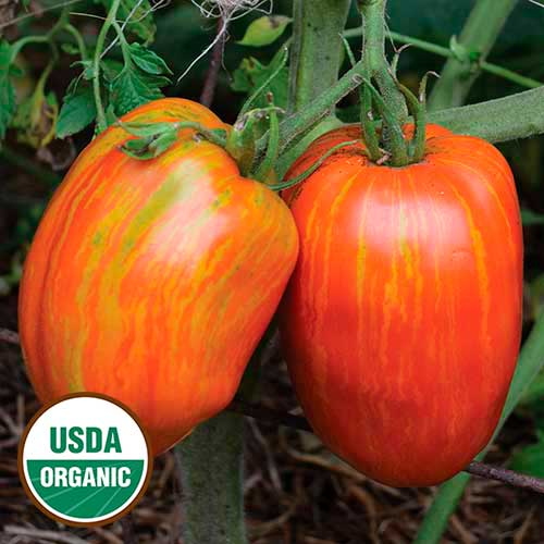 tomato black dating site This popular tomato is named after the scottish island ailsa craig ailsa craig is an english heirloom variety dating from 1925 ailsa craig has an excellent flavor and is a vigorous, reliable performer.