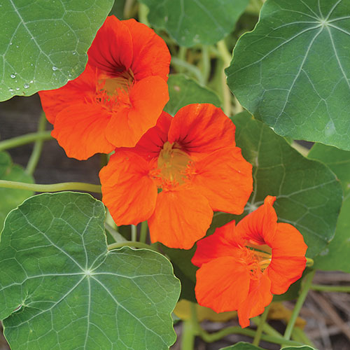 140X seeds Empress of India nasturtiums Seeds Home Garden Plant Flower Seeds