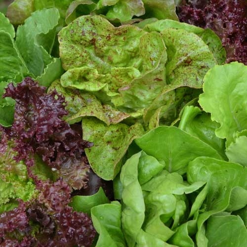 Seed Savers Exchange lettuce mix