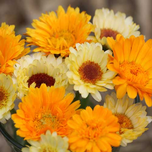Flower, Calendula Mixture