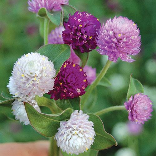 globe amaranth flower seed savers exchange