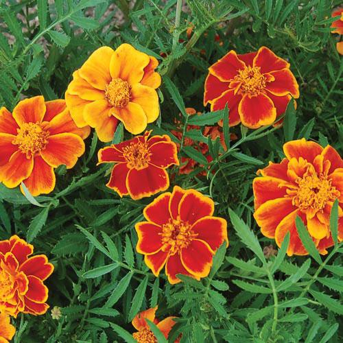 Flower, Red Marietta