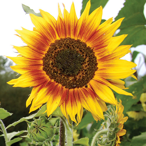 Sunflower, Ring of Fire