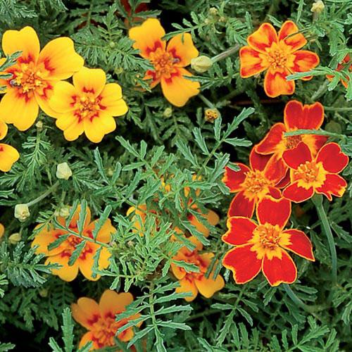 Flower, Starfire Signet