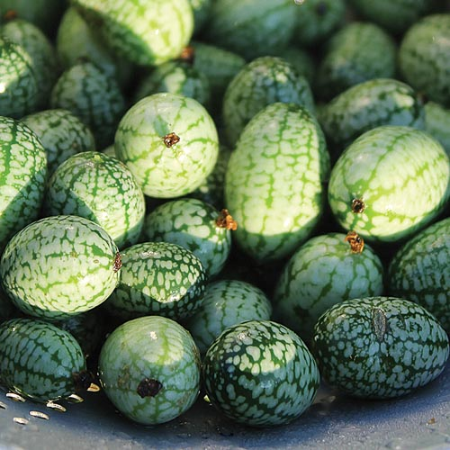 Cucumber, Mexican Sour Gherkin