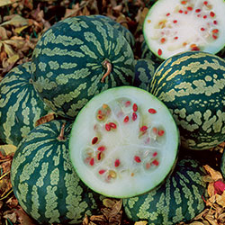Watermelon, Citron