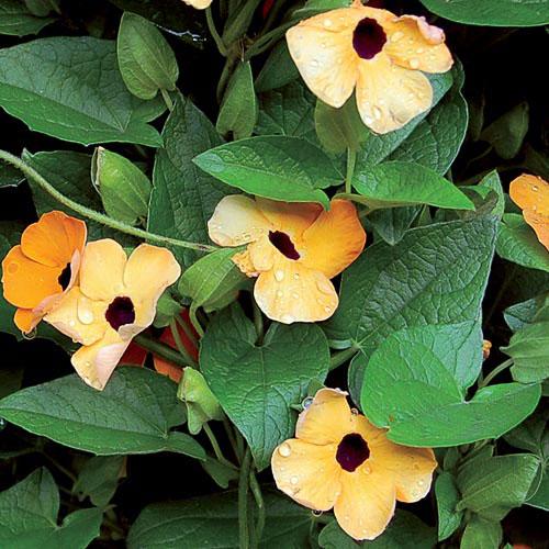 Flower, Black-Eyed Susan Vine