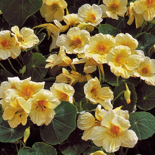 Milkmaid nasturtium flower seed savers exchange flower milkmaid nasturtium mightylinksfo
