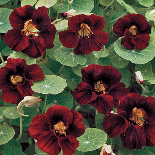 Flower, Black Velvet Nasturtium