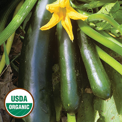 Black Beauty Zucchini squash
