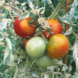 Tomato, Variegated