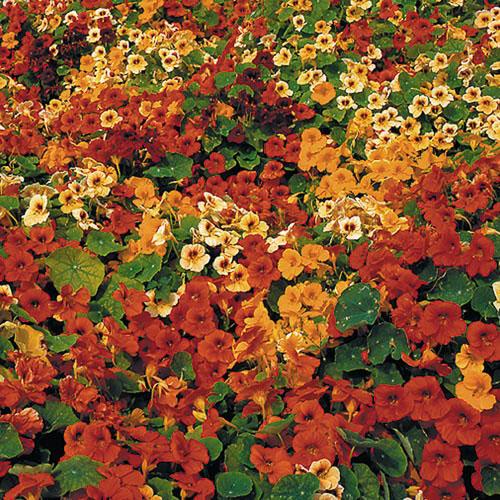 Flower, Tip Top Nasturtium