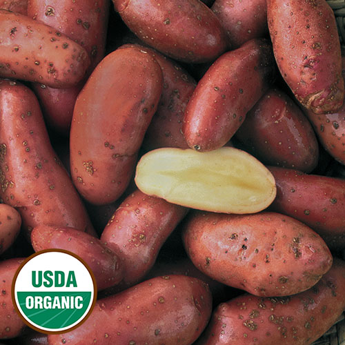 French Fingerling potato